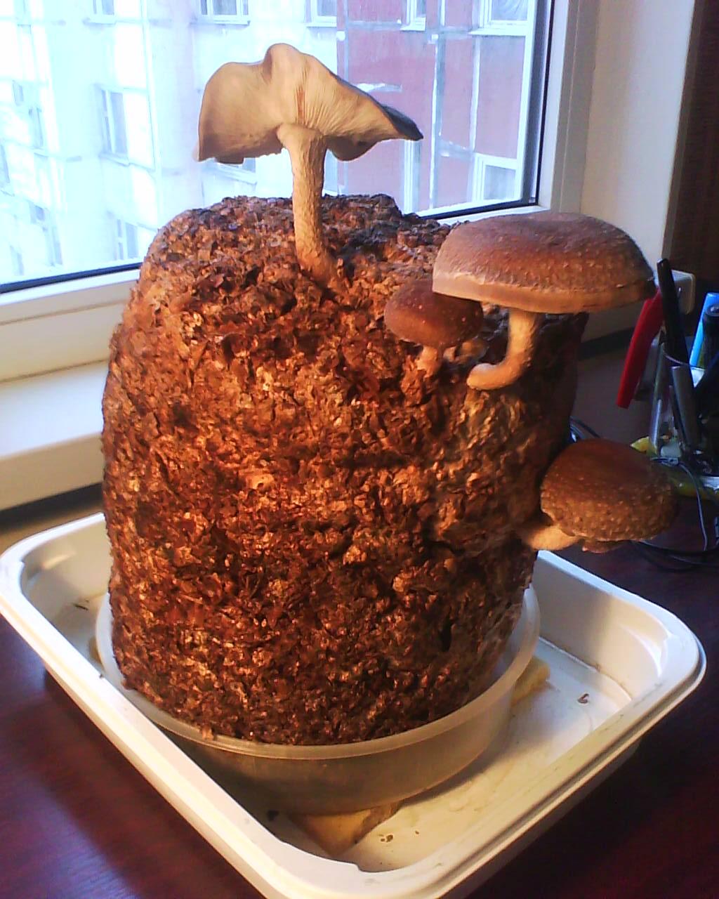 Как вырастить грибы шиитаке в домашних условиях